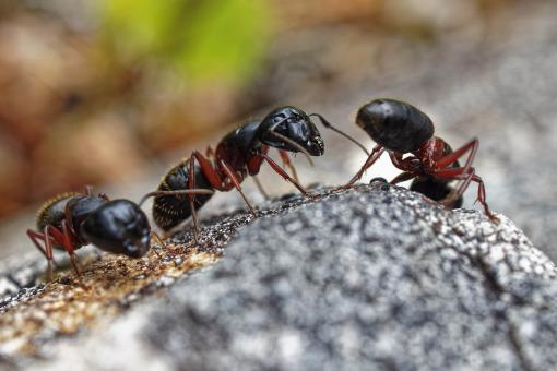 Free Stock Photo of Carpenter Ants