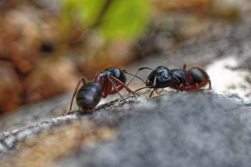 Free Stock Photo of Carpenter ants on a rock