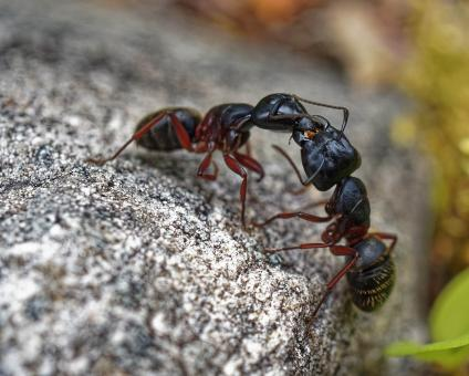 Free Stock Photo of Ant Fight