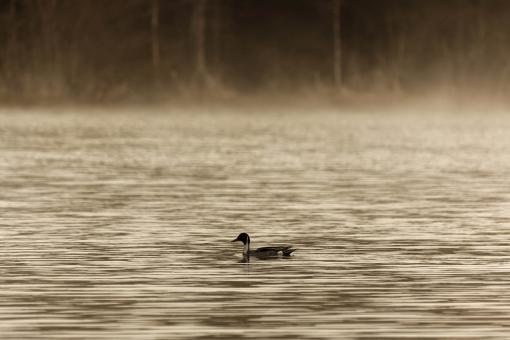 Free Stock Photo of Northern Pintail