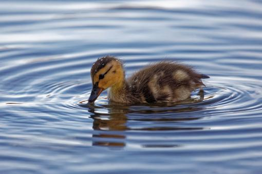 Free Stock Photo of Wet Duckling