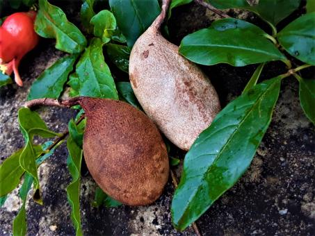 Free Stock Photo of Tamarind Fruit
