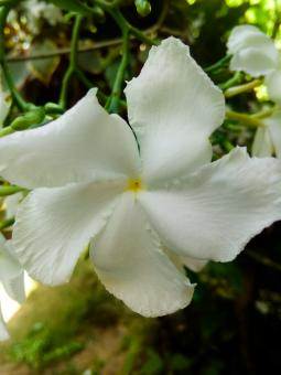 Free Stock Photo of White jasmine flower