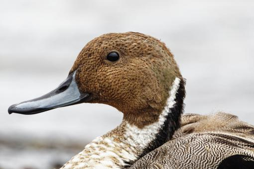 Free Stock Photo of Northern Pintail Duck