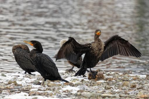 Free Stock Photo of Cormorant drying its wings