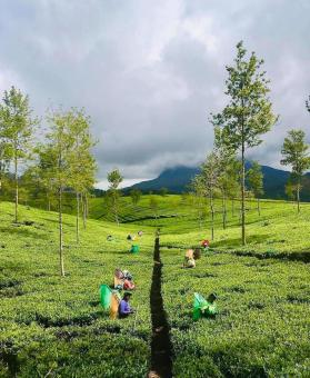 Free Stock Photo of Tea Estate Scenery