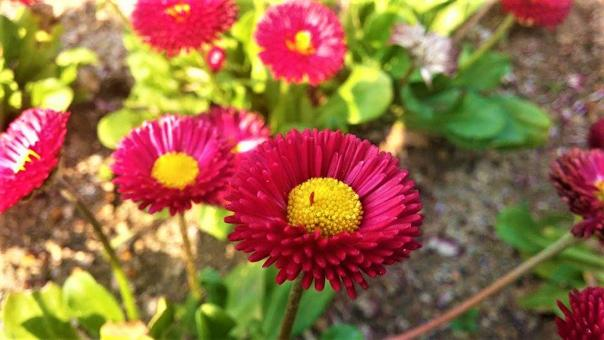 Free Stock Photo of Bellis Perennis