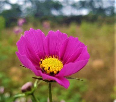 Free Stock Photo of Pink Cosmos Flower