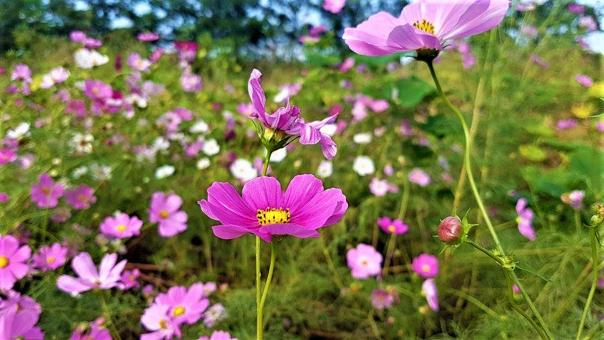 Free Stock Photo of Pink Cosmos Flower Field