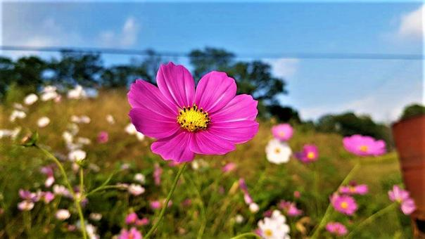 Free Stock Photo of Pink Cosmos Flower in Field