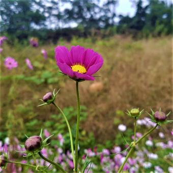 Free Stock Photo of Single Pink Cosmos Flower