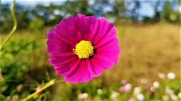 Free Stock Photo of Pink Cosmos Flower in Bloom