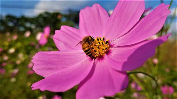 Free Stock Photo of Honey Bee on Pink Cosmos Flower