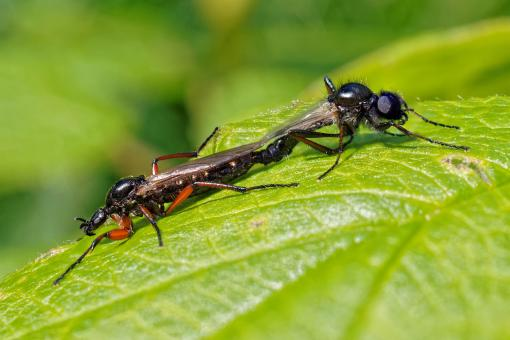Free Stock Photo of March fly mating