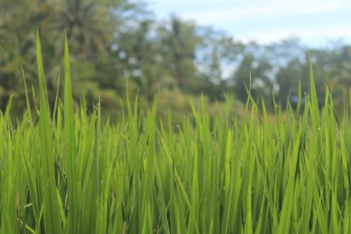 Free Stock Photo of Green Grass from Rice Field