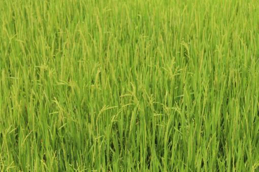 Free Stock Photo of Beautiful Rice Field in Asia