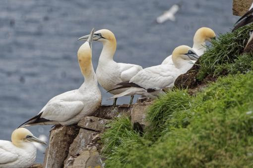 Free Stock Photo of Northern Gannets sitting on rocks
