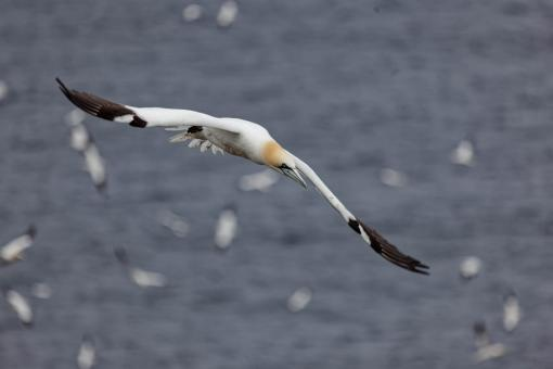 Free Stock Photo of Nothern Gannet
