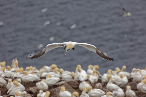 Free Stock Photo of Northern gannet looking down