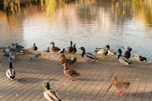 Free Stock Photo of Ducks and Pigeons by the Lake