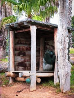 Free Stock Photo of Gorilla in his hut