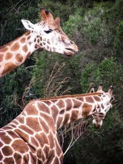 Free Stock Photo of Giraffes eating leaves from a tree