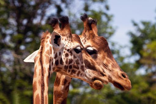 Free Stock Photo of Two giraffes heads