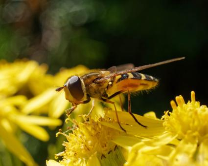Free Stock Photo of Hoverfly on Yellow Flower - Macro