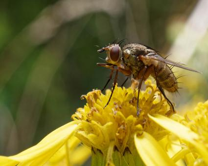 Free Stock Photo of Fly on a yellow flower - Macro