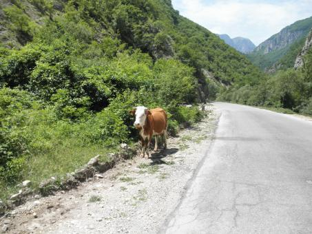 Free Stock Photo of Cow walking by a mountain road