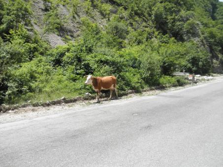 Free Stock Photo of Cow in rugova mountains near the street
