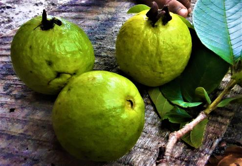 Free Stock Photo of Green Guava