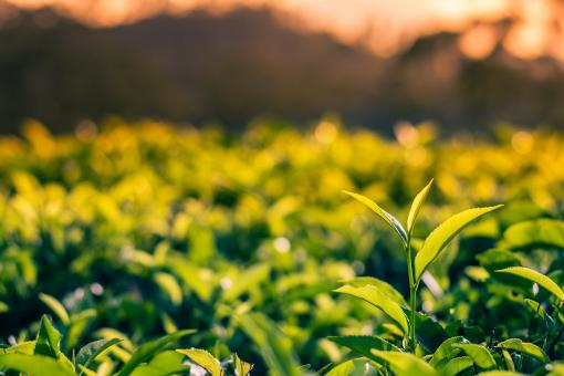 Free Stock Photo of Tea plantation in Sri Lanka