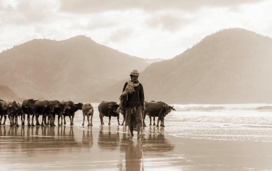 Free Stock Photo of Man with cow herd on beach