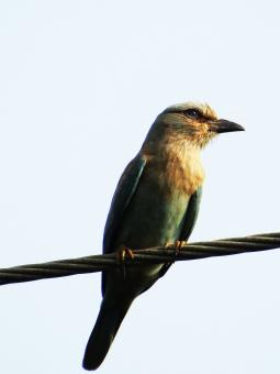 Free Stock Photo of Indian Roller