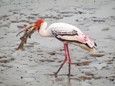 Free Stock Photo of Painted Stork