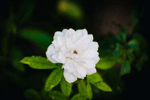 Free Stock Photo of The Mogra Flower