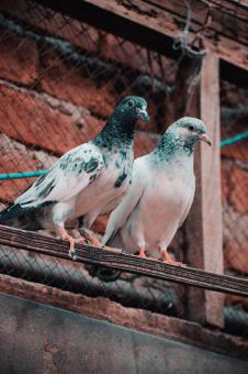 Free Stock Photo of The Pigeon Couple