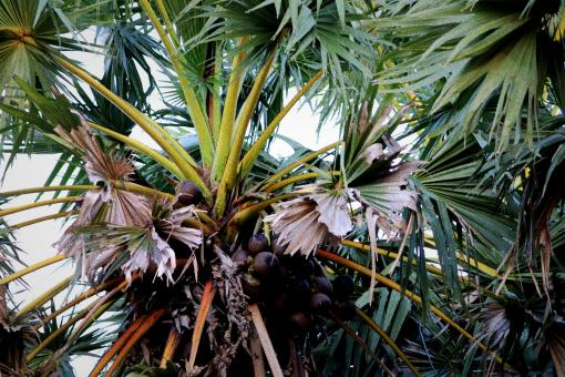 Free Stock Photo of Fresh Fruit on Asian Palmyra Palm