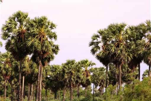 Free Stock Photo of Palmyra palms trees