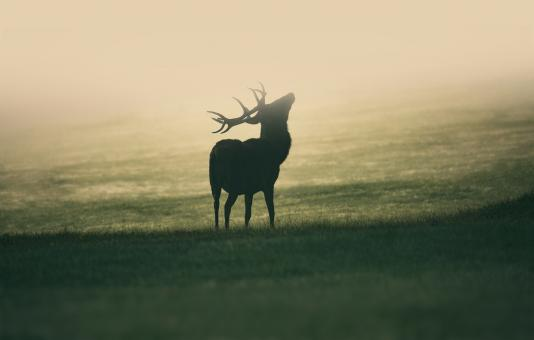 Free Stock Photo of Deer Stag in the Mist - Nature Awakening