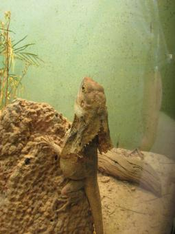 Free Stock Photo of Lizard - A bearded dragon