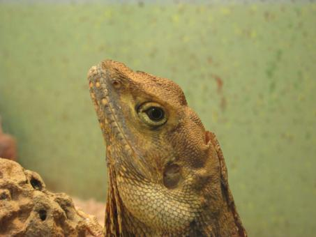 Free Stock Photo of A bearded dragon - Close Up