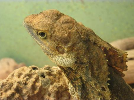 Free Stock Photo of A bearded dragon in Zoo