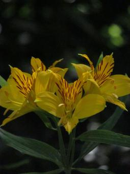 Free Stock Photo of Yellow Lilies in Summer