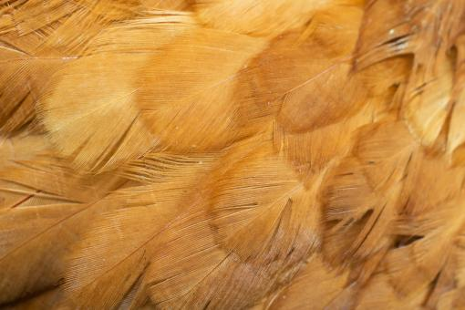 Free Stock Photo of Brown hen feathers