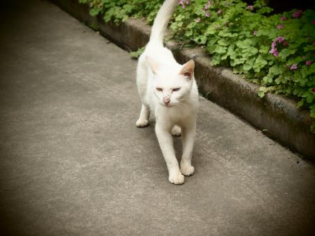 Free Stock Photo of Feral White Cat