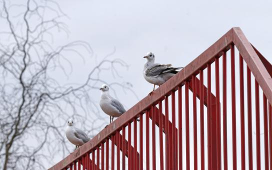 Free Stock Photo of Gulls standing on a red metallic bridge