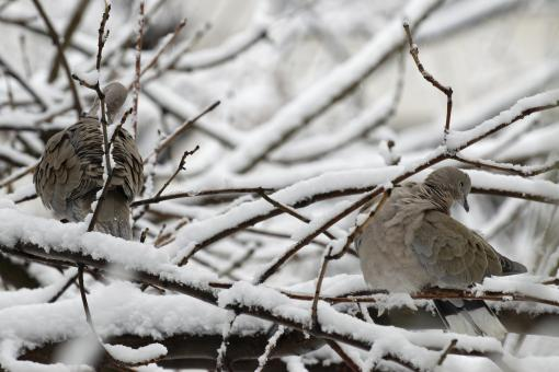 Free Stock Photo of Two turtledoves in a tree in winter
