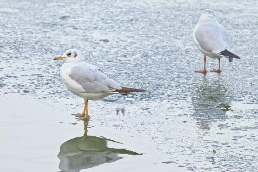 Free Stock Photo of Gulls standing in a frozen lake in the winter